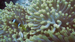 Clownfish and anemone on a tropical coral reef. Clownfish shelters in its host anemone on a tropical coral reef stock video