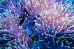 Clownfish and anemone on a tropical coral reef Stock Images
