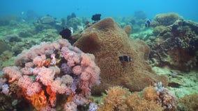 Clownfish Anemonefish στο ακτηνία Στοκ φωτογραφίες με δικαίωμα ελεύθερης χρήσης