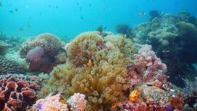 Clownfish Anemonefish στο ακτηνία Στοκ Εικόνες
