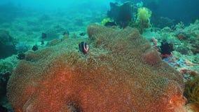 Clownfish Anemonefish στο ακτηνία Στοκ Εικόνα