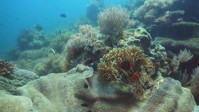 Clownfish Anemonefish στο ακτηνία Στοκ φωτογραφία με δικαίωμα ελεύθερης χρήσης