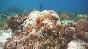 Clownfish Anemonefish στο anemone Στοκ Φωτογραφία