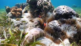 Clownfish Anemonefish στο anemone Στοκ φωτογραφίες με δικαίωμα ελεύθερης χρήσης