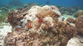 Clownfish Anemonefish στο anemone Στοκ Φωτογραφίες