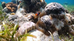 Clownfish Anemonefish στο anemone Στοκ φωτογραφία με δικαίωμα ελεύθερης χρήσης
