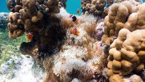 Clownfish Anemonefish στο anemone Στοκ εικόνα με δικαίωμα ελεύθερης χρήσης