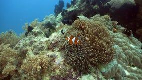 Clownfish Anemonefish στο anemone Στοκ εικόνες με δικαίωμα ελεύθερης χρήσης