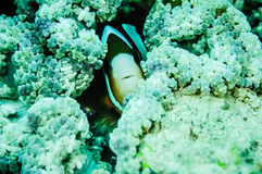 Clownfish (anemonefish)掩藏的里面银莲花属在Derawan,加里曼丹,印度尼西亚水下的照片 免版税库存照片