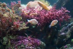 Clownfish ή anemonefish Στοκ εικόνα με δικαίωμα ελεύθερης χρήσης