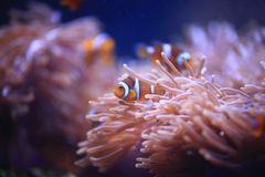 Clownfish或Anemonefish 库存图片