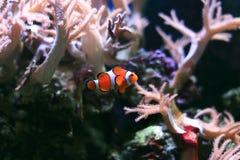 Clownfish ή Anemonefish Στοκ Φωτογραφίες