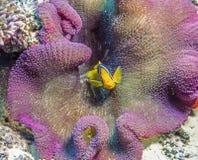 Clownfish或Anemonefish 免版税库存图片