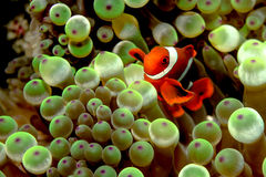 Clownfish, Anemonefish) stockfotografie