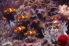 Clownfish and anemonefish Royalty Free Stock Images