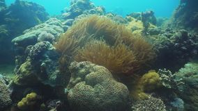 Clownfish Anemonefish in actinia stock footage