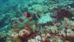 Clownfish Anemonefish in actinia stock videobeelden