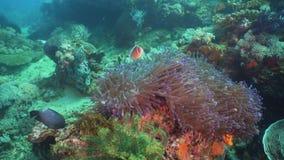 Clownfish Anemonefish in actinia stock video