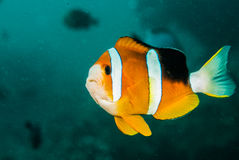 Clownfish, anemonefish in Ambon, Maluku, Indonesia underwater photo Stock Photos