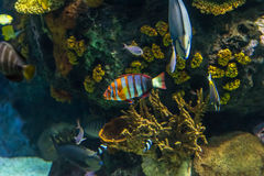 Clownfish, anemonefish, Amphiprioninae Στοκ εικόνες με δικαίωμα ελεύθερης χρήσης