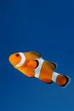 Clownfish anemonefish auf blauem Hintergrund Lizenzfreie Stockfotos