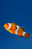 Clownfish anemonefish on blue background Royalty Free Stock Photos