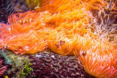 Clownfish or Anemonefish. Are fishes from the subfamily Amphiprioninae in the family Pomacentridae. In the wild, they all form symbiotic mutualisms with sea royalty free stock photography