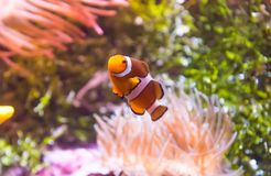 Clownfish or Anemonefish. Are fishes from the subfamily Amphiprioninae in the family Pomacentridae. In the wild, they all form symbiotic mutualisms with sea royalty free stock photo