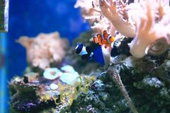 Clownfish or anemonefish on coral reef Stock Image