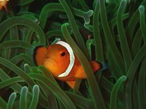 Closeup and macro shot of Western Clown fish or anemone fish. The beauty of underwater world, Sabah. Borneo. royalty free stock photo