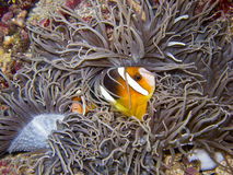 Clownfish1 Royalty Free Stock Image