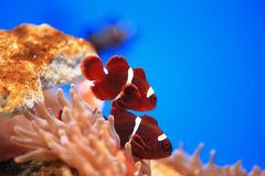 Clownfish or anemonefish Royalty Free Stock Photography