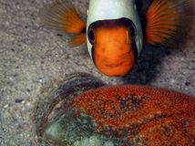 No bottle in ocean, anemonefish with eggs on a plastic bottle. royalty free stock photos