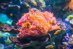 Clownfish or Anemonefish. Are fishes from the subfamily Amphiprioninae in the family Pomacentridae. In the wild, they all form symbiotic mutualisms with sea royalty free stock image