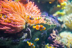 Clownfish or Anemonefish. Are fishes from the subfamily Amphiprioninae in the family Pomacentridae. In the wild, they all form symbiotic mutualisms with sea stock images