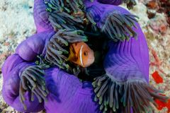 Clownfish , anemonefish, hiding in giant fluorescent purple sea anemone, cnidaria gigantea. Clownfish , or anemonefish, hiding in tentacles of purple sea anemone Royalty Free Stock Images
