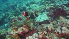 Clownfish Anemonefish i actinia lager videofilmer