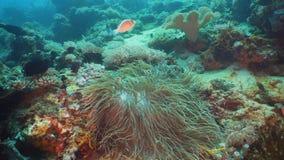Clownfish Anemonefish i actinia royaltyfri bild