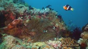 Clownfish Anemonefish im Actinia Lizenzfreie Stockbilder