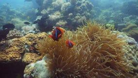 Clownfish Anemonefish im Actinia Lizenzfreie Stockfotografie