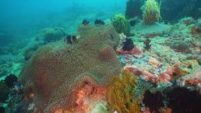 Clownfish Anemonefish im Actinia Stockfotografie