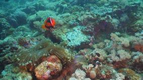 Clownfish Anemonefish im Actinia Stockfoto