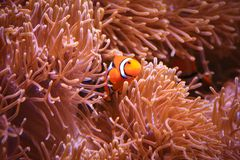 Clownfish or anemonefish. Lownfish are omnivorous and can feed on undigested food from their host anemones, and the fecal matter from the clownfish provides Stock Images