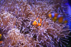 Clownfish or anemonefish. Lownfish are omnivorous and can feed on undigested food from their host anemones, and the fecal matter from the clownfish provides Royalty Free Stock Image
