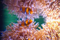 Clownfish or anemonefish. Lownfish are omnivorous and can feed on undigested food from their host anemones, and the fecal matter from the clownfish provides Stock Photo