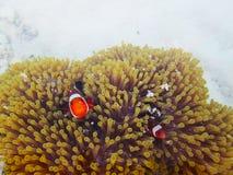 Clownfish of anemonefish met zeeanemonen stock fotografie