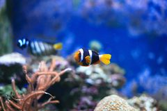 Clownfish or anemonefish Royalty Free Stock Image