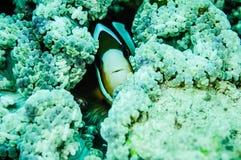 Clownfish (anemonefish) nederlag inom anemon i Derawan, Kalimantan, Indonesien undervattens- foto Royaltyfri Foto