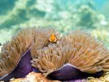 Free Clownfish Anemonefish - Perhentian Islands, Malaysia Stock Images - 140823684