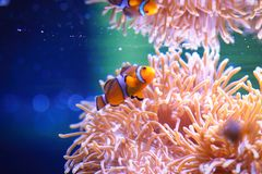 Clownfish or anemonefish on sea anemone background. Clownfish are omnivorous and can feed on undigested food from their host anemones, and the fecal matter from Royalty Free Stock Image